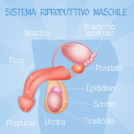 erection: male reproductive system