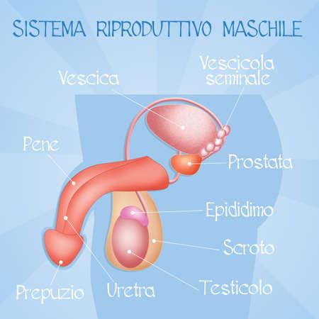 aparato reproductor: sistema reproductor masculino Foto de archivo
