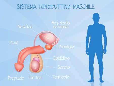 sistema reproductor masculino Foto de archivo