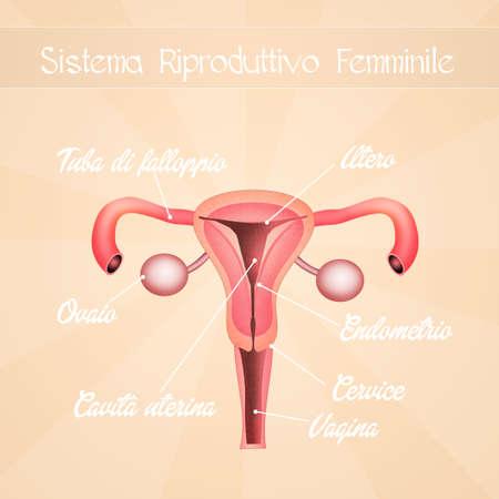 menses: female genitals Stock Photo