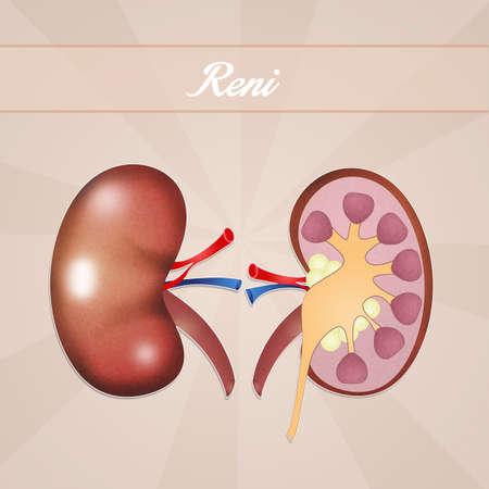 kidneys: Kidneys Stock Photo