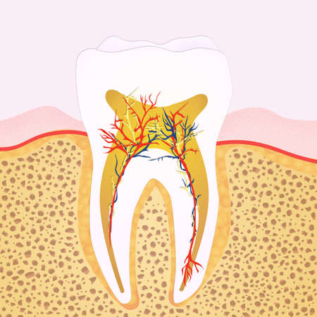 dentin: the tooth Stock Photo