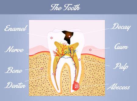dental pulp: tooth anatomy Stock Photo