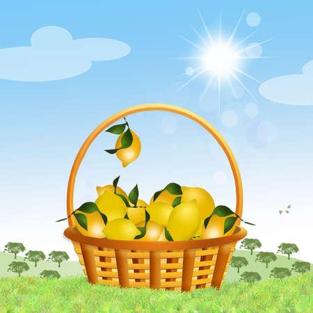 lemons: lemons cultivation Stock Photo