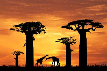 baobab: baobab silhouette at sunset