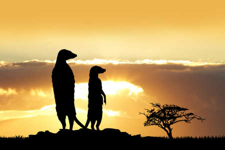 mongoose: Meerkats silhouette at sunset Stock Photo