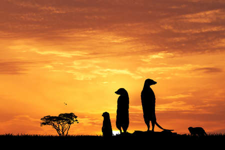 mongoose: Meerkats in African landscape at sunset