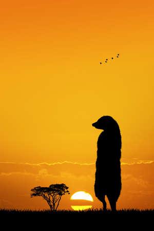 mongoose: Meerkats at sunset