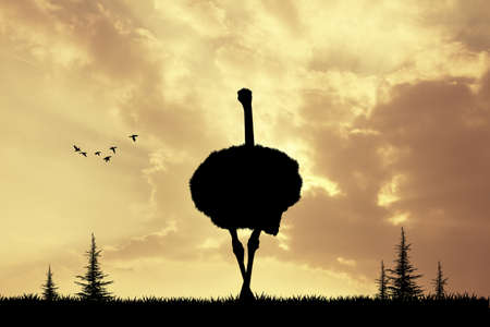 ostrich: Ostrich at sunset