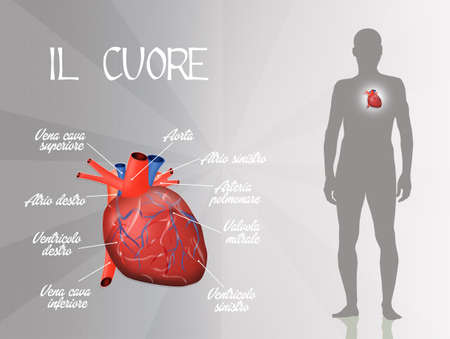 cardiovascular: Cardiovascular system