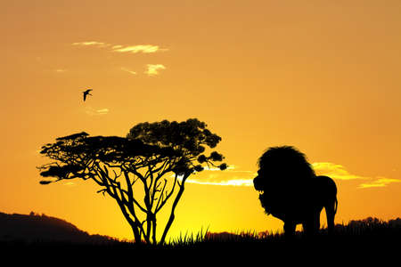 lion silhouette: lion silhouette at sunset Stock Photo