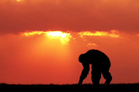 Chimpanzees at sunset Stock Photo