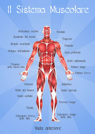 the muscular system Stock Photo