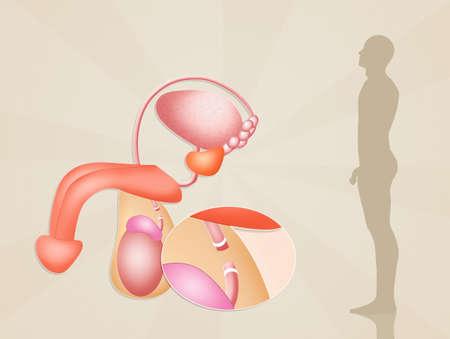 uretra: vasectomía Foto de archivo