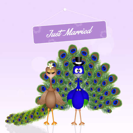 Wedding of peacocks Stock Photo