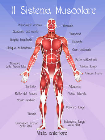 Muscular System Stock Photos. Royalty Free Muscular System Images