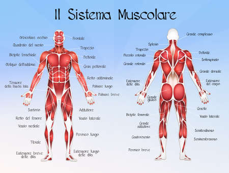The muscolar system
