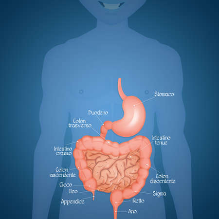 illustration of intestine and stomach