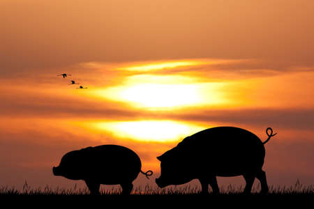 pigs at sunset Stockfoto