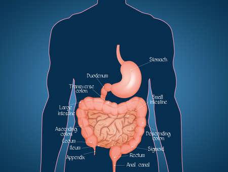 illustration of intestine diagram Stock Photo