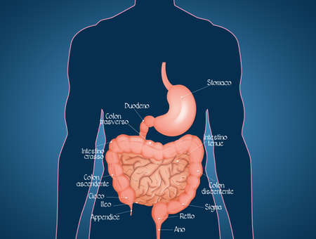 illustration of intestine diagram Stock Photo