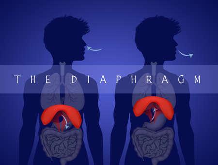 Human Diaphragm Anatomy Reklamní fotografie