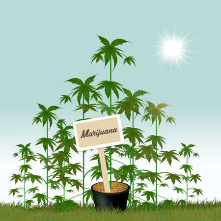 cannabis cultivations