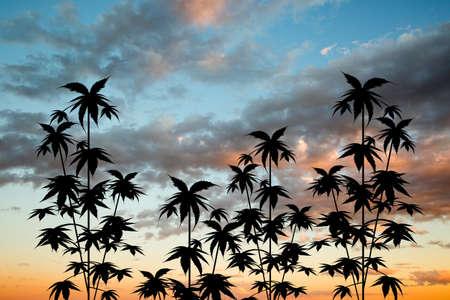 plant cultivation of marijuana at sunset Reklamní fotografie