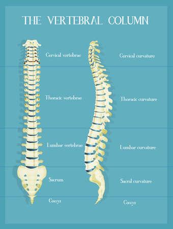 the vertebral colum scheme