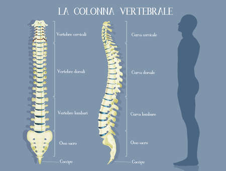 the vertebral column of a man infographic vector illustration Stock Photo