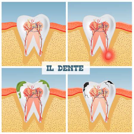 illustration of tooth anatomy