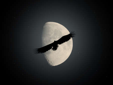sea eagle in the moonlight