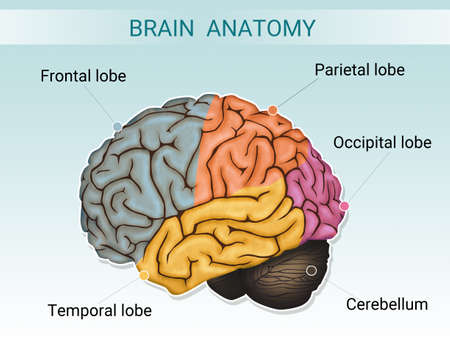 illustration of brain anatomy Stok Fotoğraf