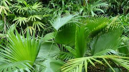 Palm leafs in botanical garden.