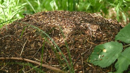 Ants nest. Fire ants crawling on the ant hill in the woods.