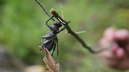 long horn beetle: The Beetle barbel. A bug with long antennae on a dry twig. Macro.
