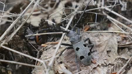 barbel: Black beetle barbel outdoors close up. Macro.