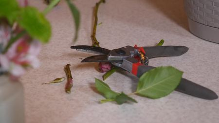 Garden secateurs and cut hawthorn branches. Stock Photo