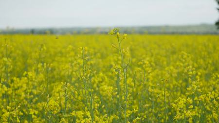 Blooming canola field at spring.
