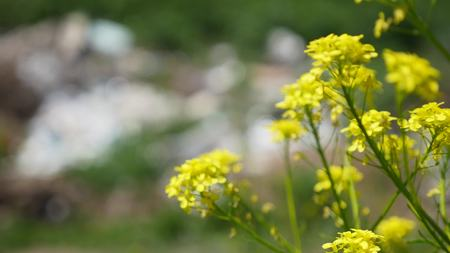 View of garbage in grass through yellow flowers.