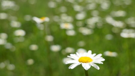 marguerite: Daisy in a meadow rich in flowers at dawn.