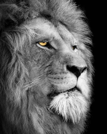 Lion king, Portrait Wildlife animal, Black White Stock fotó