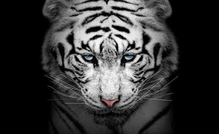 White tiger profile, animal isolated, wildlife hunter