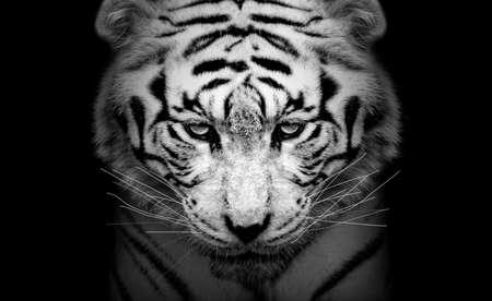White tiger profile, animal isolated, wildlife hunter Foto de archivo