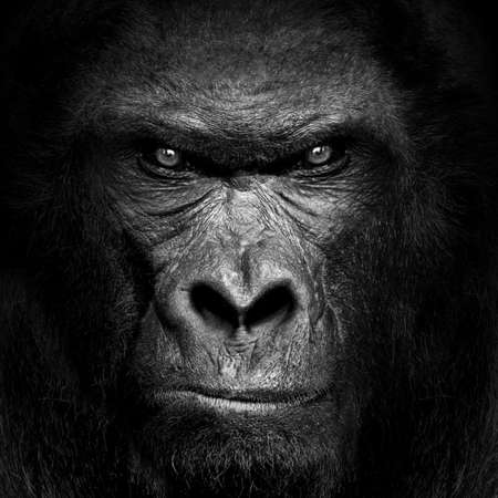 Gorilla mammal animal, black white wildlife