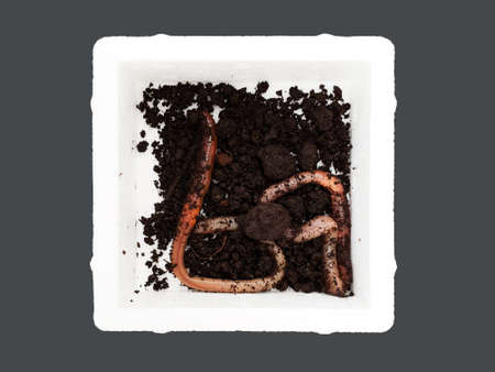 Canadian worms isolated Standard-Bild