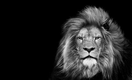 asfasg Lion king, Portrait Wildlife animal single. isolated