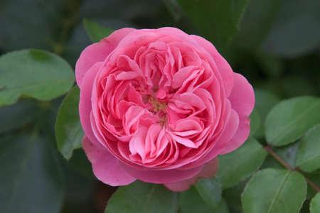 Garden roses, pink plant, flower