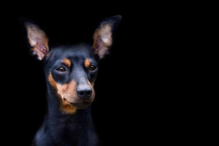 Dog doberman pinscher, isolated animal