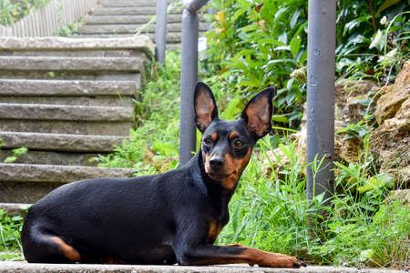 Dog doberman pinscher, animal Standard-Bild